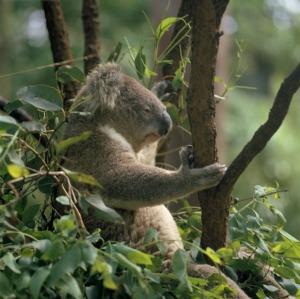 A koala near Melbourne, Victoria