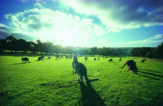 Kangaroos and wildlife on the Great Ocean Road