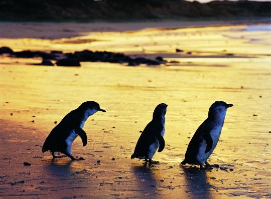 Phillip Island Nature Park - Penguin Reserve