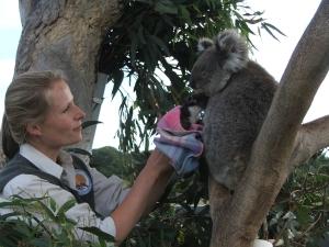 Lizzie encouraging a koala to adopt a joey