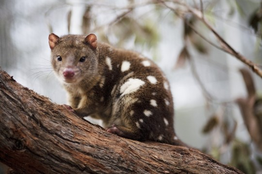 Endangered tiger quolls near Melbourne, Victoria