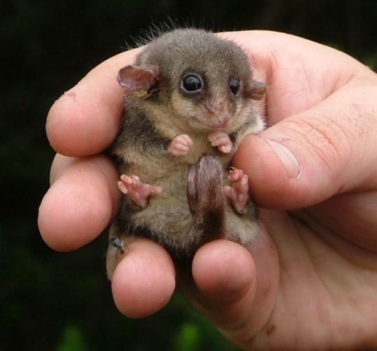 Eastern pygmy possum in Victoria Australia