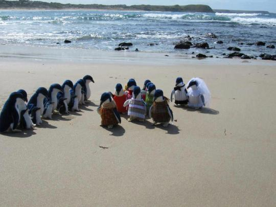 Penguin wedding on Phillip Island Victoria