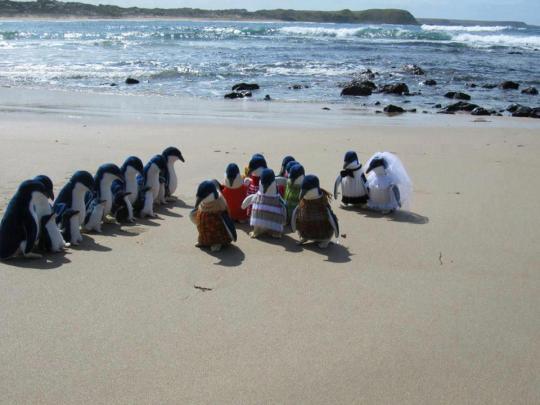 Penguin wedding on Phillip Island Victoria