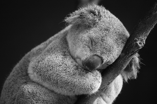 Sleeping koala, Phillip Island