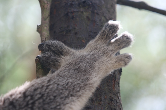 Koala thumbs, Phillip Island