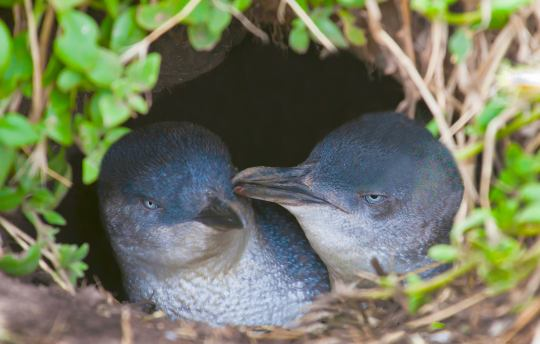 Little penguins breeding season on Phillip Island